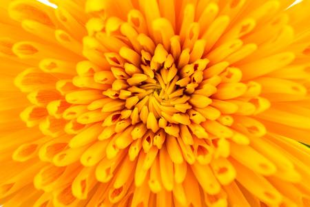 추상: 노란색 국화 꽃