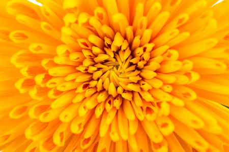 colorful: yellow Chrysanthemum flowers Stock Photo