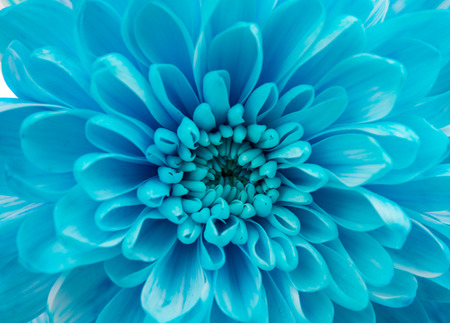 blue romance: Beautiful Dahlia Flower head Macro Stock Photo