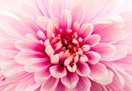 美しい紫色の菊をクローズ アップ
