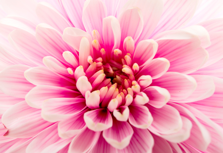 closeup of pink daisy with: Beautiful purple chrysanthemum close up