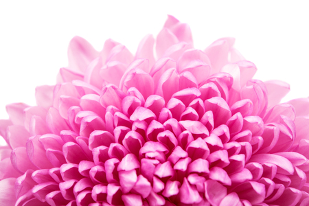 green background pattern: Beautiful purple chrysanthemum close up