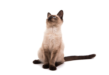 anima: Siamese cat on a white background