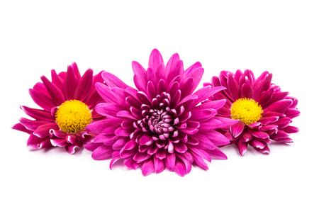 single  object: beautiful magenta chrysanthemum on a white background