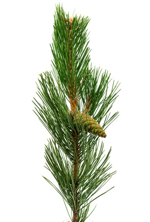 sprig: sprig of pine cones on a white background