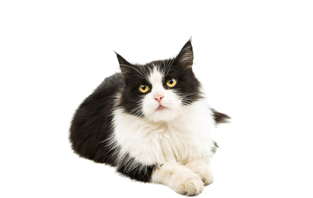 black and white: black and white cat on a white background