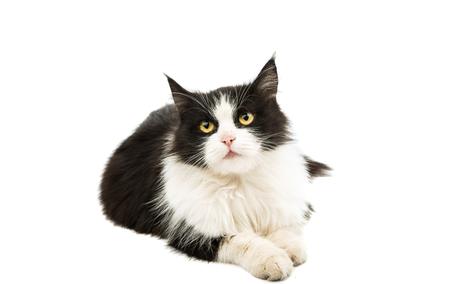 fondo blanco y negro: gato blanco y negro sobre un fondo blanco