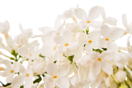 White lilac on a white background closeup