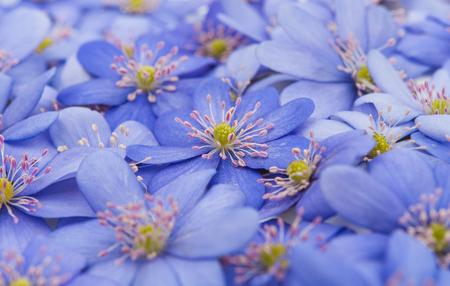 nobilis: spring flowers Hepatica nobilis on a white background