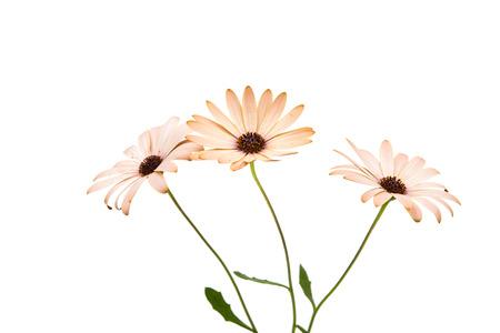 marguerite: Ost�ospermum Daisy ou Cape Daisy Fleur, isol�, sur fond blanc. Gros plan macro Banque d'images