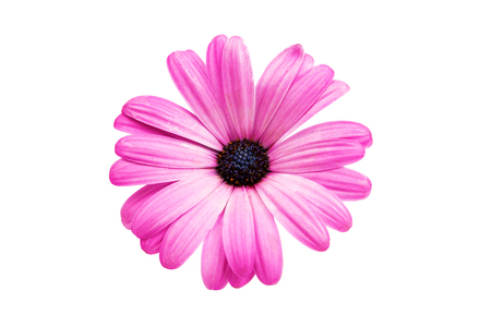 closeup of pink daisy with: Violet Pink Osteosperumum Flower Daisy Isolated on White Background. Macro Closeup Stock Photo