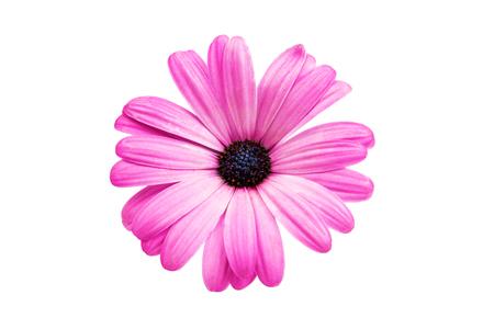 marguerite: Violet rose Osteosperumum fleur Daisy isolé sur fond blanc. Gros plan macro Banque d'images