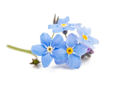 blue forget-me-not flowers isolated on white background 写真素材