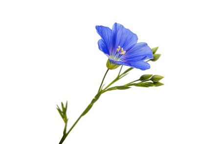 Flower of flax isolated on white background Standard-Bild