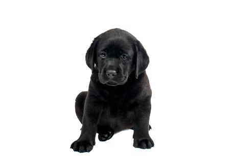 Puppy Labrador noir sur un fond blanc