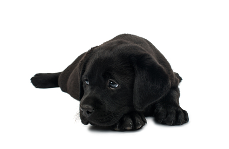 black out: Puppy Black Labrador on a white background