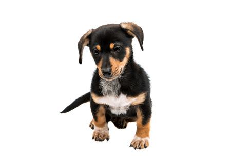pug nose: Dachshund puppy on a white background Stock Photo
