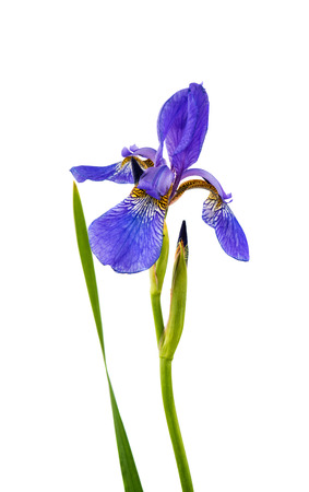 blueflag: Iris flower isolated on white background