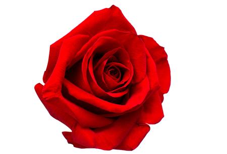 Rode roos geïsoleerd op een witte achtergrond Stockfoto - 53123293