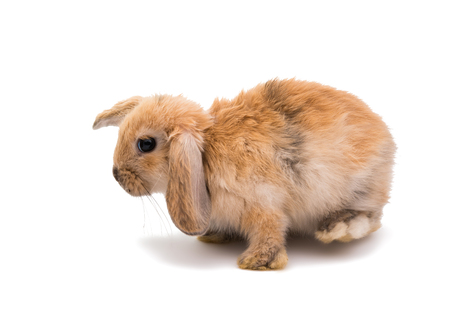 lop lop rabbit white: Rabbit Ram breed, red color, isolated on white background. Stock Photo