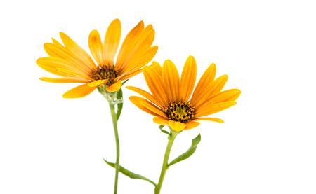 flores moradas: Margarita Osteospermum o flor de la margarita del Cabo aislado sobre fondo blanco. Primer macro