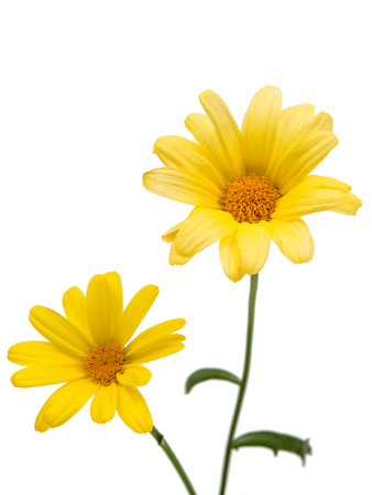 isolated on yellow: yellow daisy isolated on a white background