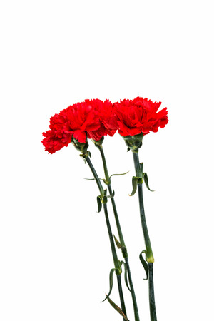red  carnation: red carnation isolated on a white background Stock Photo