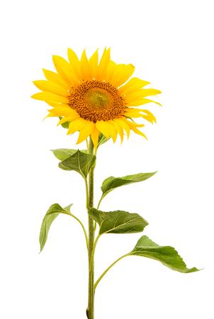 Kwiat słonecznika samodzielnie na białym tle