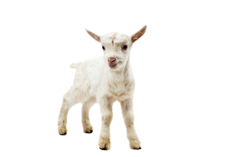 yeanling: Portrait of a white goat, standing in full length, isolated on white background