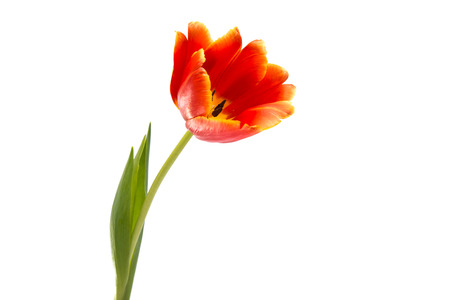 red tulip: red tulip isolated on white background