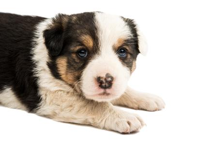 alabai: Alabai puppy isolated on white background