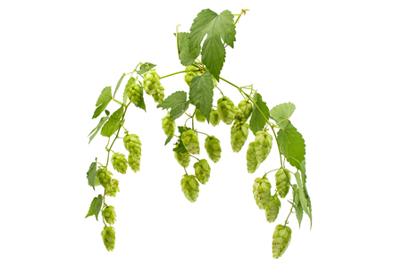 common hop: hop cones isolated on white background
