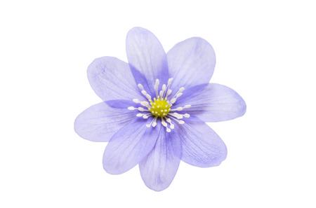 nobilis: Hepatica nobilis isolated on white background Stock Photo