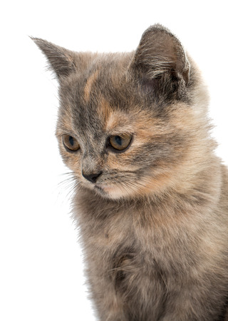 lays down: gray kitten isolated on white background