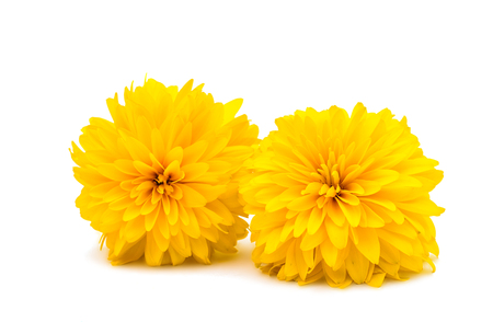 isolated on yellow: yellow chrysanthemum isolated on a white background