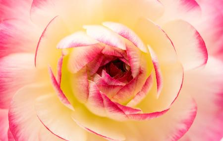 buttercup: beautiful flower buttercup close-up - background