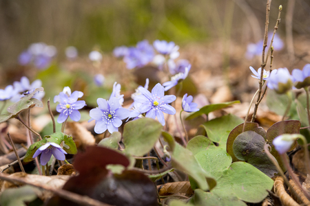 liverwort: liverwort (Hepatica nobilis) growing  on the forest floor;