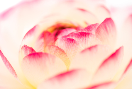 buttercup flower: buttercup flower close-up
