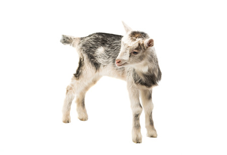 caprine: goats little isolated on white background