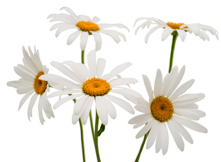 pflanze: daisy on a white background