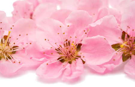 white blossom: pink peach blossom isolated on white background Stock Photo