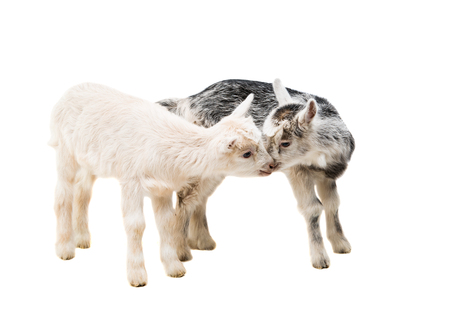 small goats isolated on white background Stock Photo