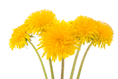 pappus: flower of dandelion isolated on white background