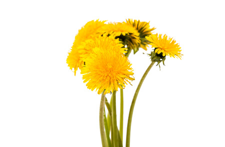 pedicel: flower of dandelion isolated on white background