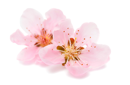 pink peach blossom isolated on white background Archivio Fotografico