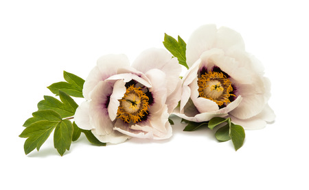 tree peony: tree peony isolated on white background