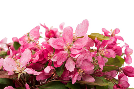 crab apple tree: pink flowers on an apple-tree on a white background