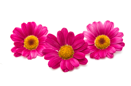 pink daisy: pink daisy on a white background