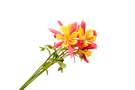 pink columbine: Red and yellow Columbines Isolated on White Background