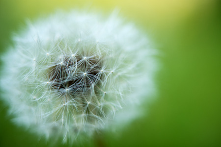 cottonwool: dandelion growing in a meadow close-up